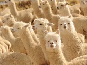 alpaca-wool-peru