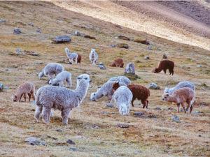 alpaca wool peru