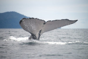 A-Humpback-whale-shows-its-tale-while-whale-watching-in-Bahia-Solano-Colombia-1024x683