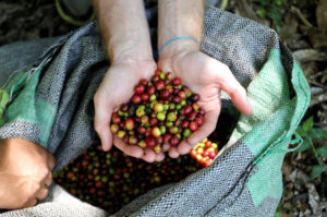 coffee-plantations-harvested-beans-1024x678